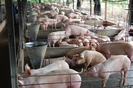 """(Đất Việt) Nuôi heo có nơi lãi đến 3 triệu đồng một con, cao chưa từng có từ trước đến nay. Tuy nhiên, người nuôi vẫn kêu và kiên quyết giảm đàn, treo chuồng. Điều này đẩy giá loại thịt vốn hết sức thiết yếu """"leo thang""""."""